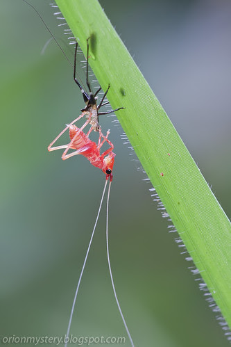 red katydid molting in progress IMG_0141 copy