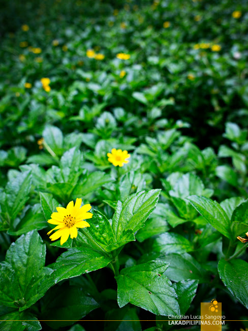 Yellow Flowers along the Trail to Dalipuga Falls in Iligan City