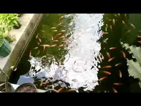 Inspirasi Cara mudah bisnis budidaya ikan nila merah ...