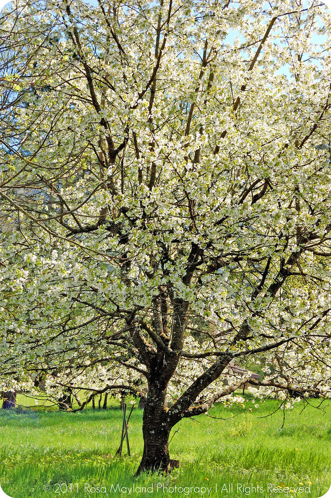 Springtime Cherry Tree bis bis