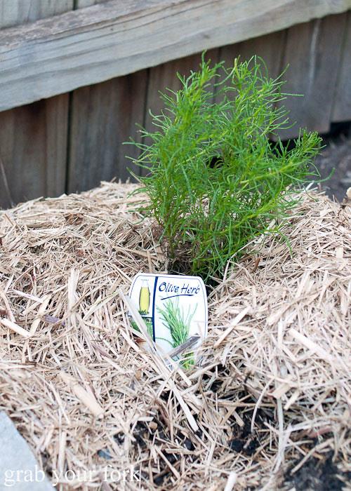 olive herb