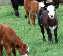 Guide to preparing grass fed beef. Yes it is different. Since we have amazing livestock farmers, here's a guide to truly enjoy them. Read more here: http://www.grassfedandhealthy.com/public/137.cfm