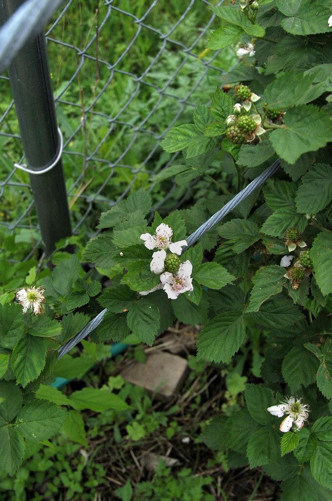'Blackhawk' black raspberries