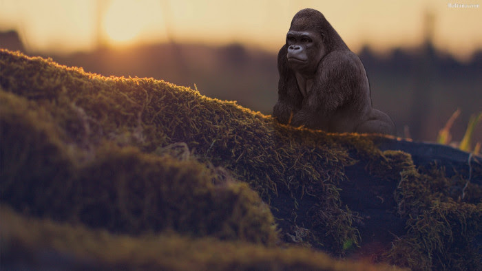 Gorilla HD Wallpaper 30429 - Baltana