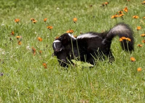 Download How To Get Rid Of A Skunk In Your Backyard ...