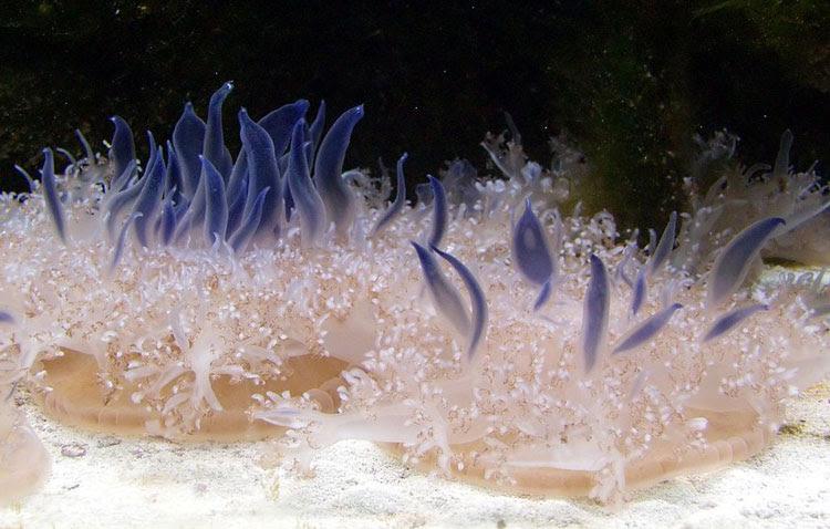 Medusas de la especie Cassiopea andromeda.