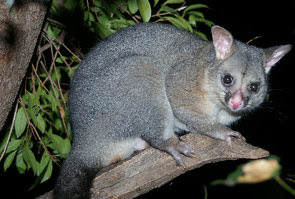 Image result for possums