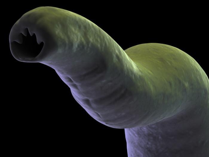 A hookworm