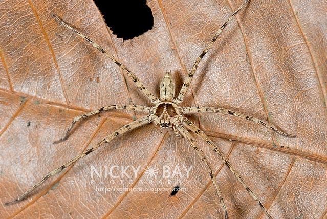 Huntsman Spider (Sparassidae) - DSC_0764