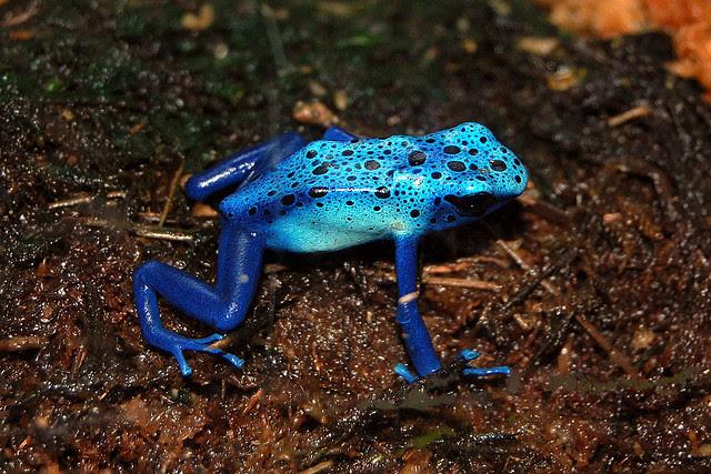 Perierga.gr - Ο μπλε βάτραχος!