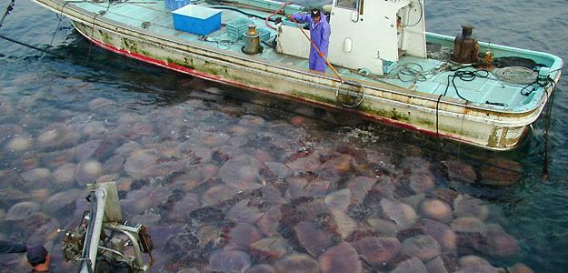 Trabajadores se afanan en recoger centenares de medusas gigantes distribuidas en Japón