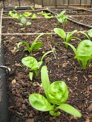 Morning 132 - Spinach, Lettuce & Kohlrabi