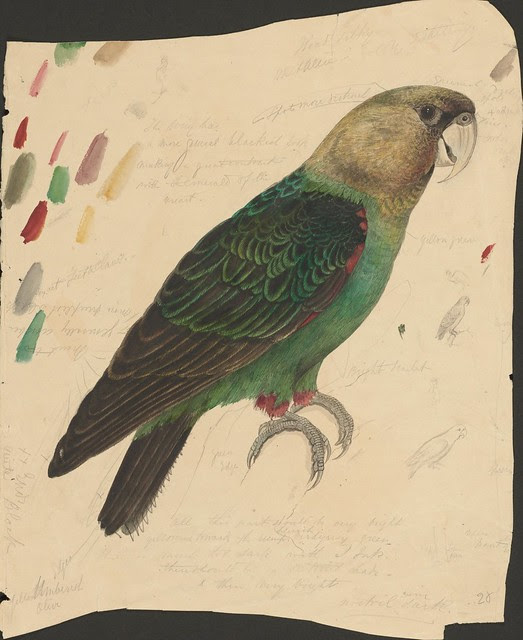 Green and red parrot - ink, graphite and watercolour drawing (28)