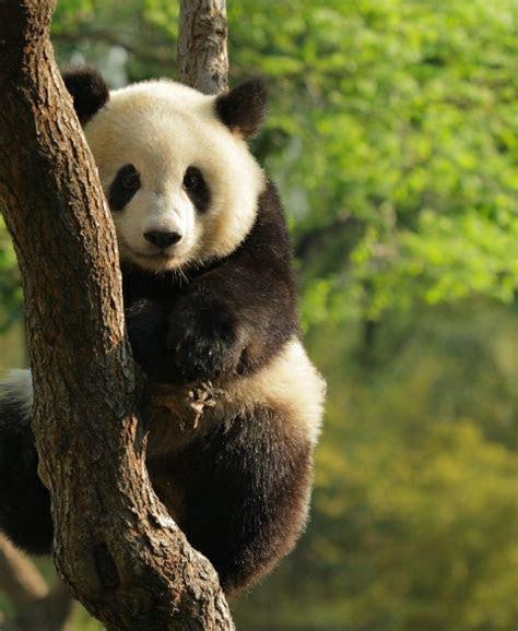 gambar panda imut lucu kumpulan gambar