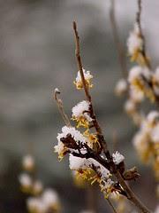 snowbuds