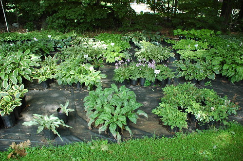 Hostas (and other shade plants) potted up at Southern Exposure Nursery