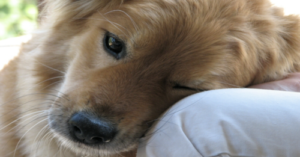 10 Dog Breeds With Sensitive Souls