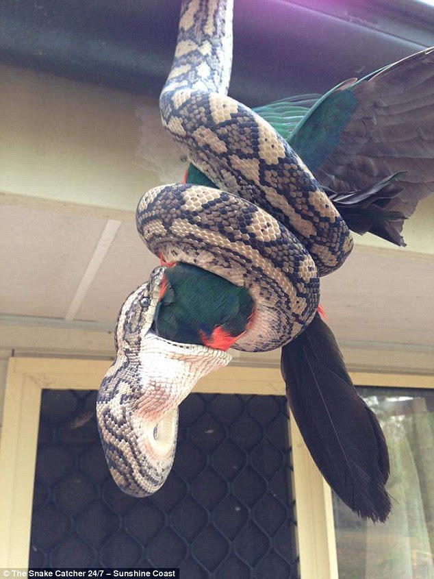 The snake started with the parrot's head and devoured the whole bird