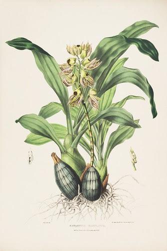 Catasetum maculatum - orchid from Guatemala