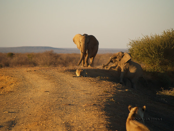 Young Lioness Stalking Elephants