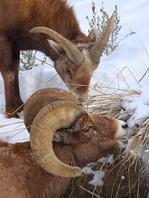 IMG_5221 Bighorn Sheep, Yellowstone National Park
