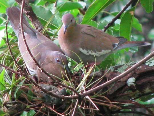 File:White winged doves-Yucatán.jpg