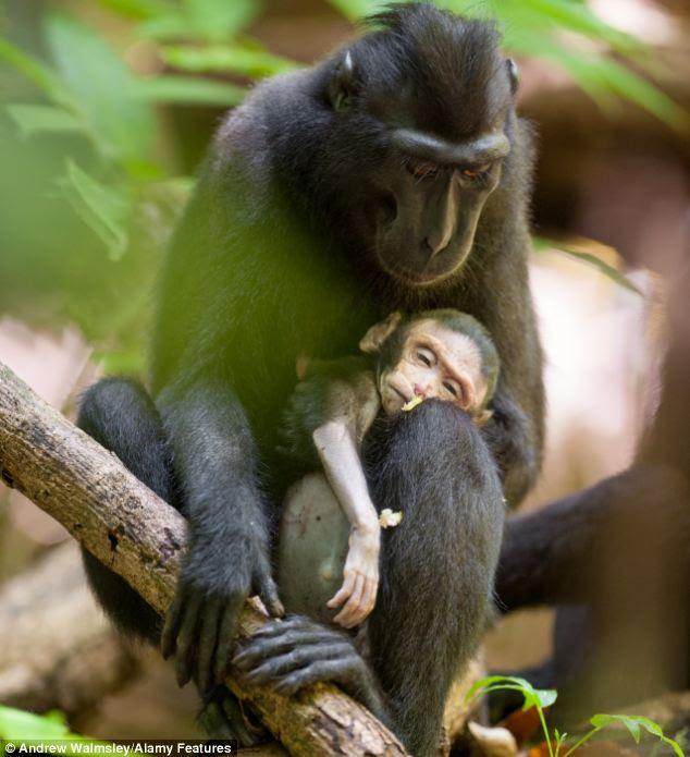 Straziante: Un macaco femmina culla morta neonato in braccio a un parco nazionale indonesiano