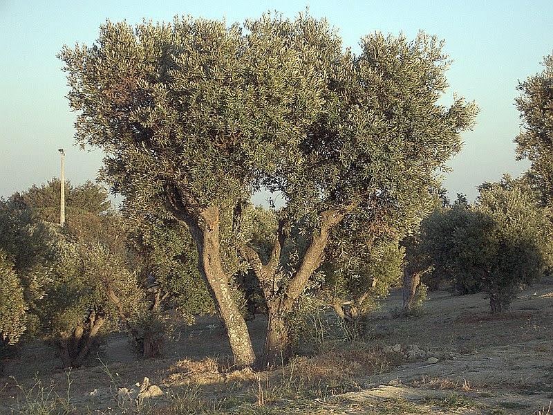 Ficheiro:Olea europaea subsp europaeaOliveTree.jpg