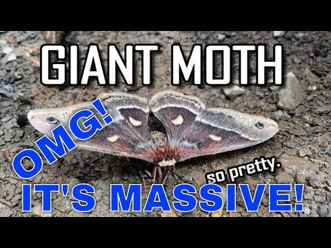 Giant Moth - Backyard Wildlife