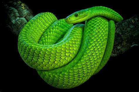 Green mamba   Learn about animals with JY