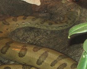 Anaconda   All about anaconda snakes