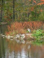 Great Blue Heron resting