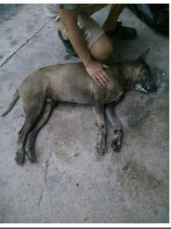 有狗隻因為吃了檳城捉狗隊的毒餌而死亡。