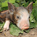 Cabbage Patch Pig