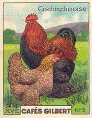 gilbert poules 5