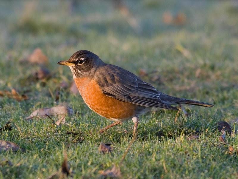 In the backyard... American Robin - Pacific NW Birder