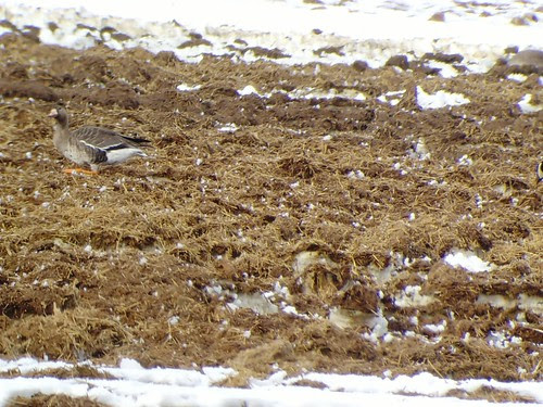 Greater White-fronted Goose: Cache Valley, UT