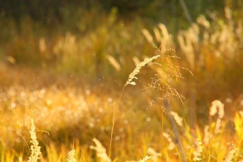 Ochre Grass