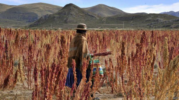 Siembra de quinoa en Bolivia