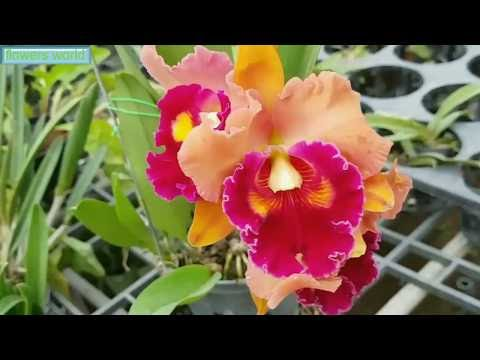 ENJOY THE BEAUTY AND COLOR OF CATTLEYA ORCHIDS