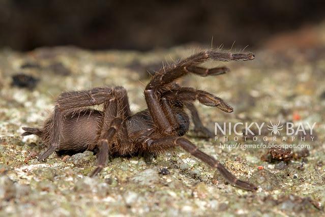 Tarantula (Phlogiellus inermis) - DSC_6966