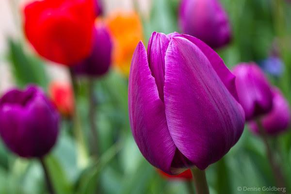 tulip wearing purple