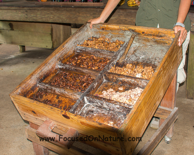 Fermented Seeds Finally Resemble Cocoa Beans