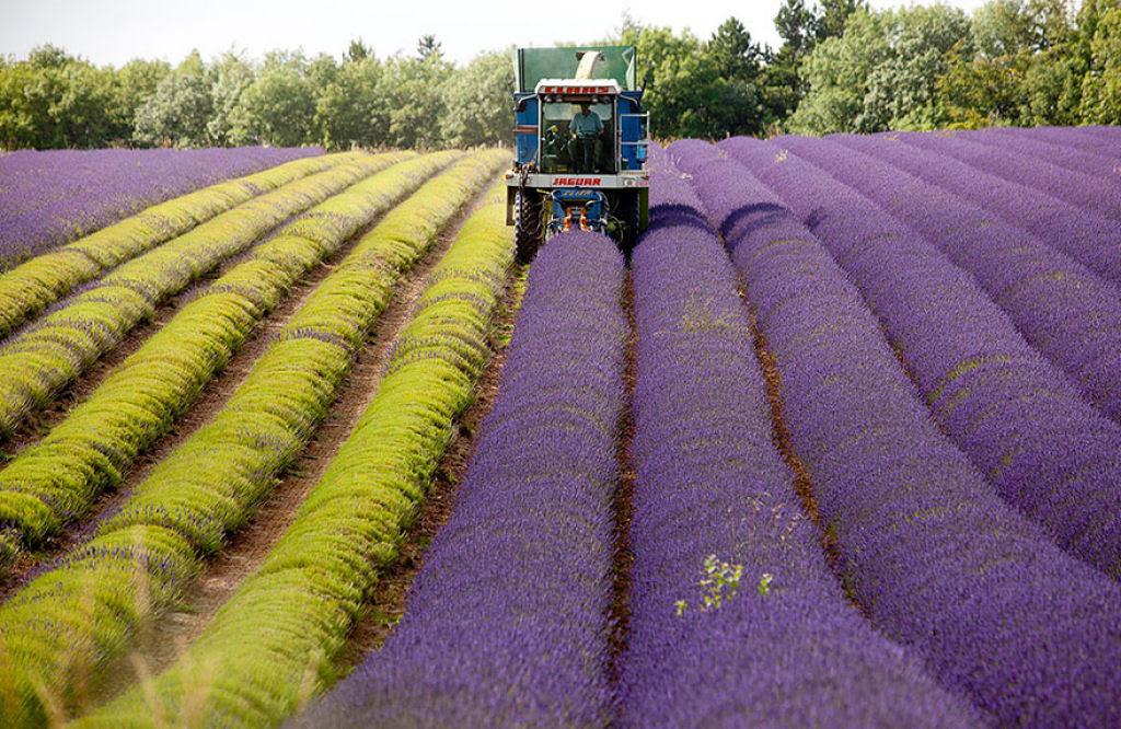 Hipnóticas fotos da colheita dos campos de lavanda 07