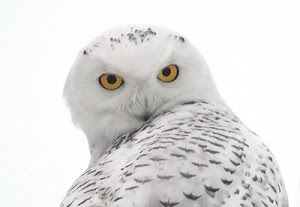 Owls Superstitionsonlinecomsuperstitions Fears Rituals And Customs