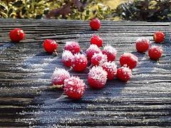 frosty berries by Teckelcar