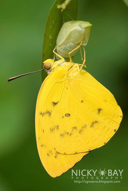 Orange Emigrant (Catopsilia scylla cornelia) - DSC_0069