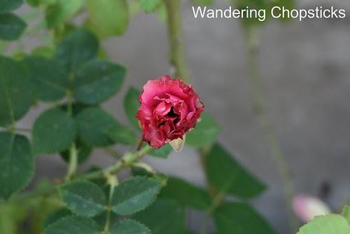 5.20 Angel Face Rose 3