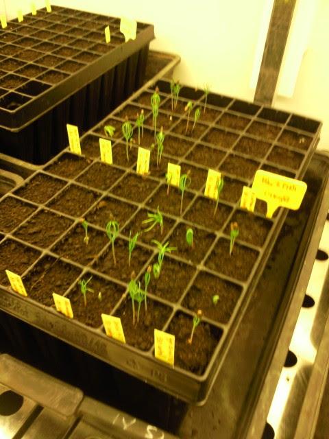 Creciendo pinos en el invernadero