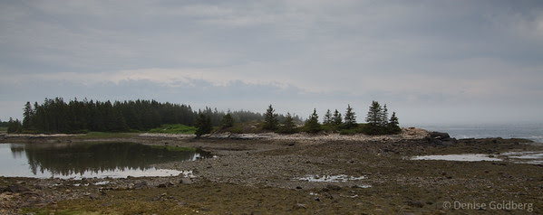 Fog lifting, trees emerging... along the eastern side of Schoodic